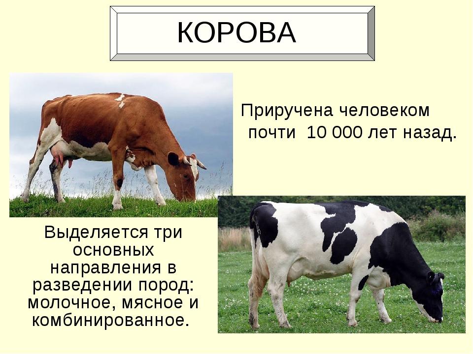 КОРОВА Выделяется три основных направления в разведении пород: молочное, мяс...