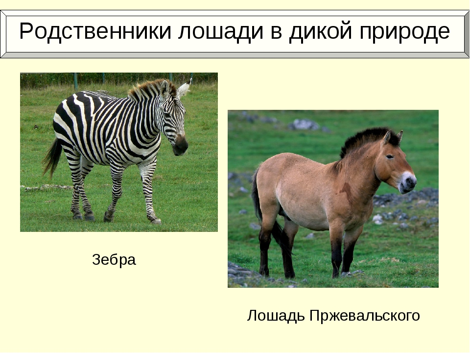 Родственники лошади в дикой природе Зебра Лошадь Пржевальского