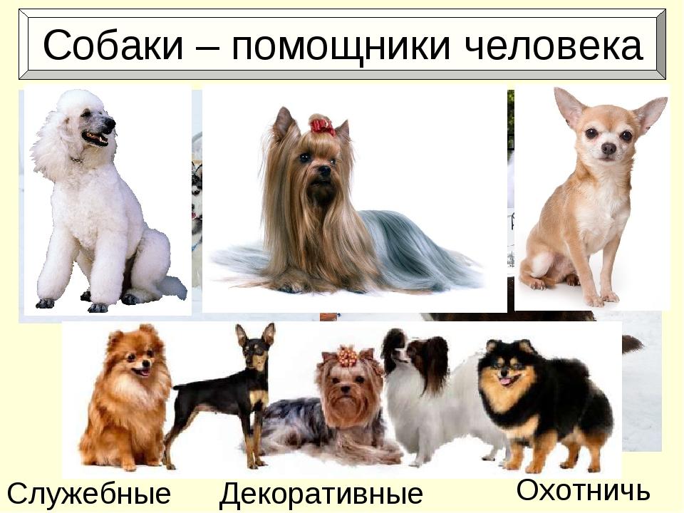 Собаки – помощники человека Охотничьи Служебные Ездовые Декоративные
