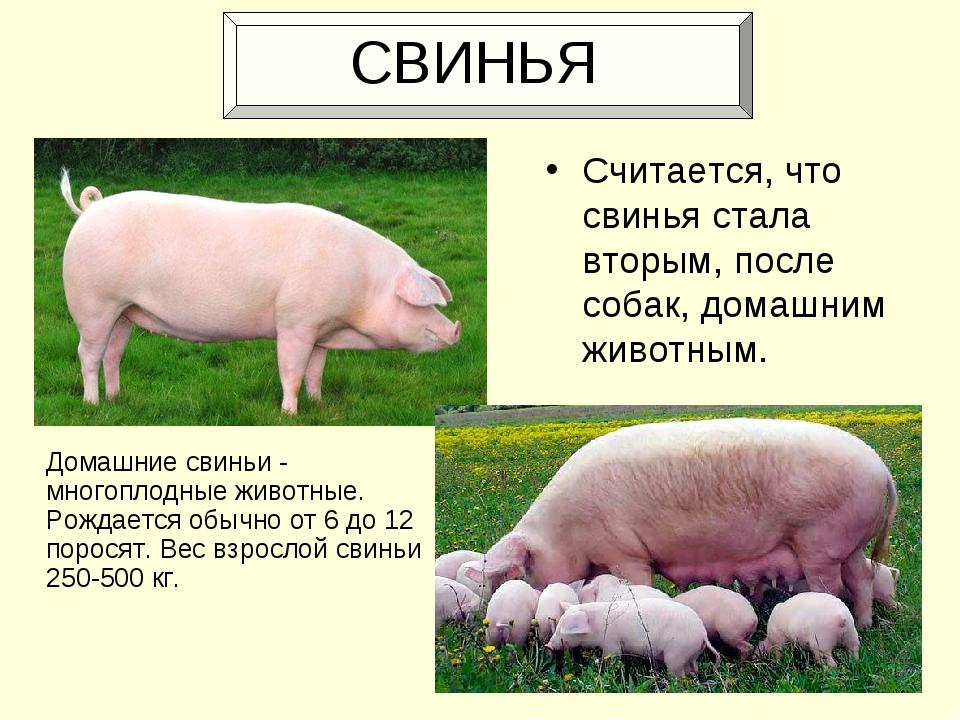 СВИНЬЯ Домашние свиньи - многоплодные животные. Рождается обычно от 6 до 12...