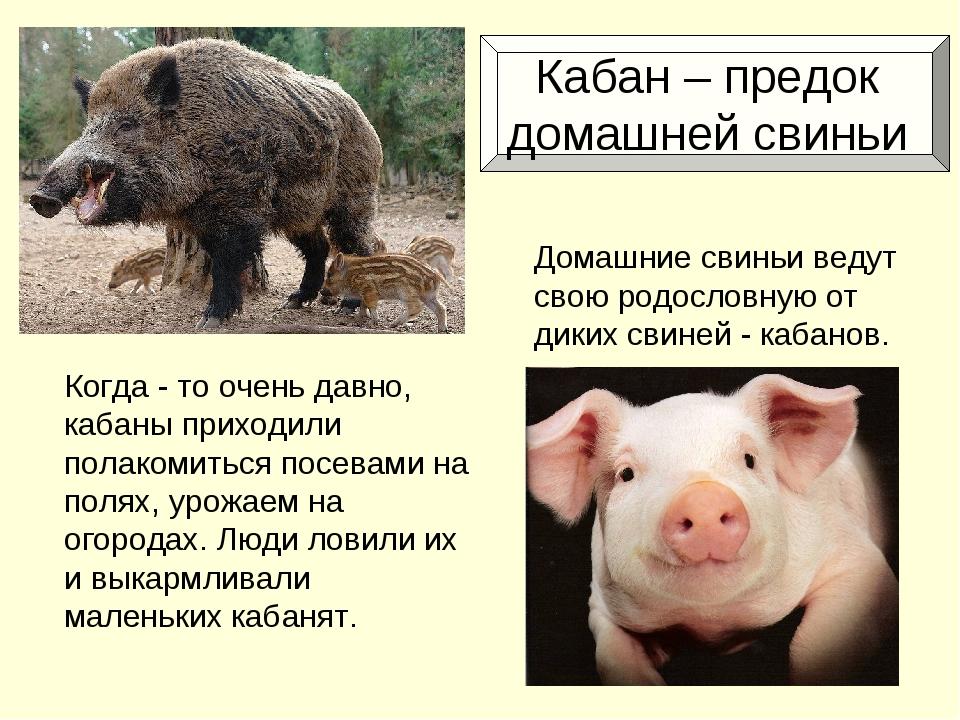 Кабан – предок домашней свиньи Когда - то очень давно, кабаны приходили пола...