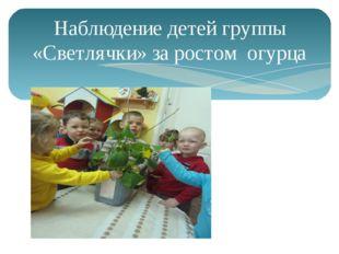 Наблюдение детей группы «Светлячки» за ростом огурца