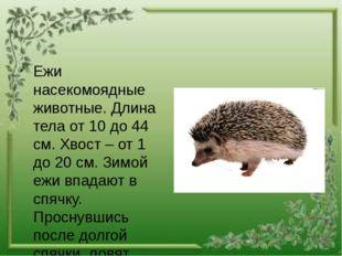 Ежи насекомоядные животные. Длина тела от 10 до 44 см. Хвост – от 1 до 20 см