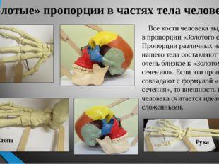 «Золотые» пропорции в частях тела человека Все кости человека выдержаны в про
