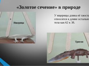 «Золотое сечение» в природе У ящерицы длина её хвоста так относится к длине о