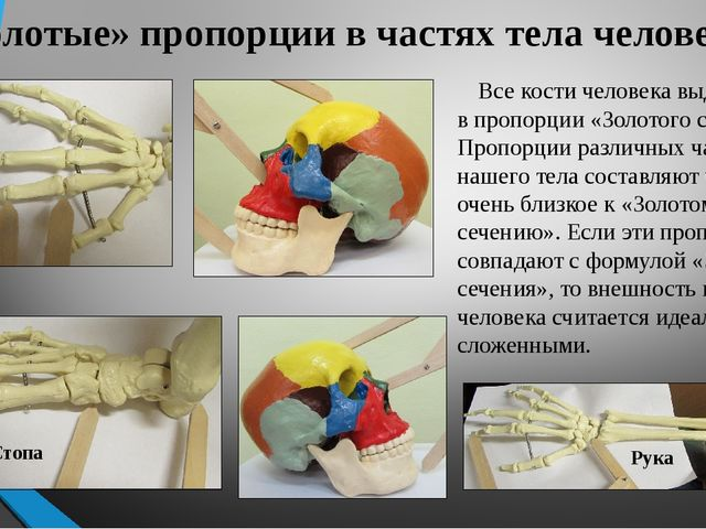 «Золотые» пропорции в частях тела человека Все кости человека выдержаны в про...