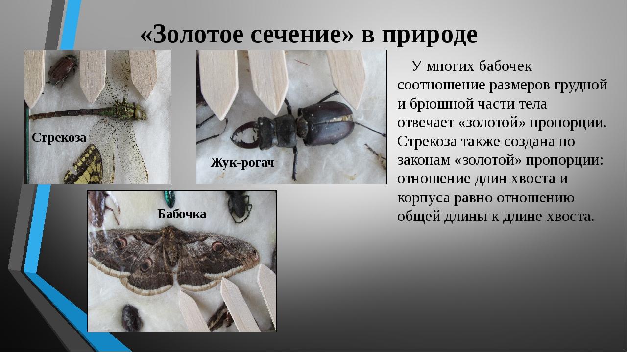 «Золотое сечение» в природе У многих бабочек соотношение размеров грудной и б...