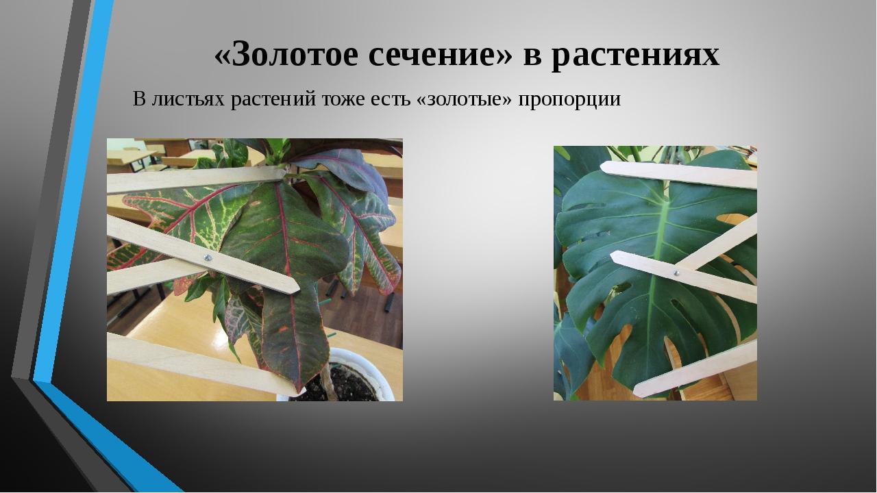 «Золотое сечение» в растениях В листьях растений тоже есть «золотые» пропорции