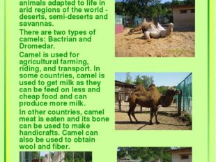 Camels Camels are large animals adapted to life in arid regions of the world