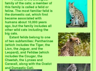 The Cat Family Felidae is the biological family of the cats; a member of thi