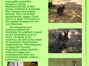 Kangaroos Kangaroo - a group of marsupial mammals kangaroo family. Representa
