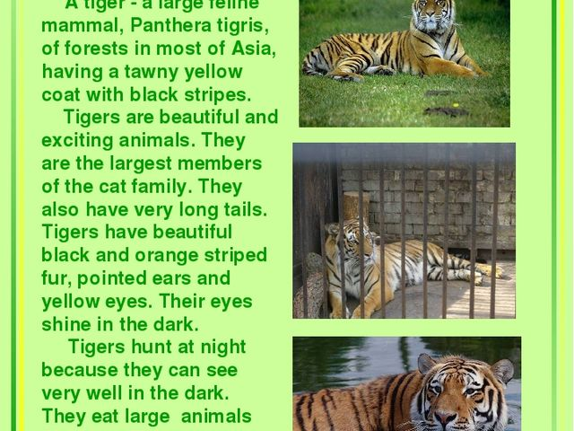 Tigers A tiger - a large feline mammal, Panthera tigris, of forests in most...