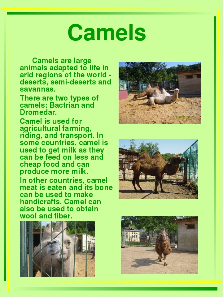 Camels Camels are large animals adapted to life in arid regions of the world...