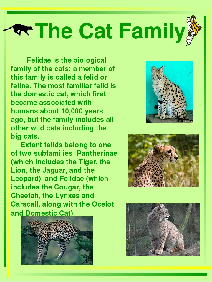 The Cat Family Felidae is the biological family of the cats; a member of thi...