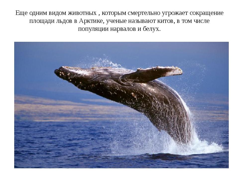 Еще одним видом животных , которым смертельно угрожает сокращение площади льд...