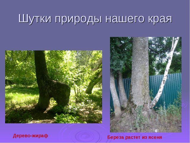 Шутки природы нашего края Дерево-жираф Береза растет из ясеня