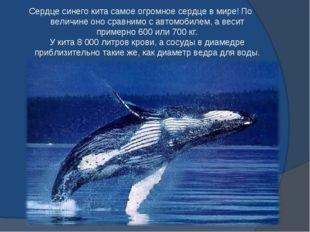 Сердце синего кита самое огромное сердце в мире! По величине оно сравнимо с а