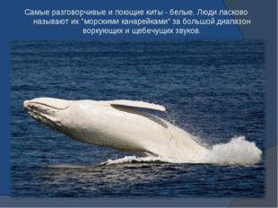 """Самые разговорчивые и поющие киты - белые. Люди ласково называют их """"морскими"""