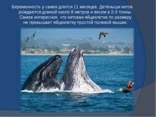 Беременность у самок длится 11 месяцев. Детёныши китов рождаются длиной около