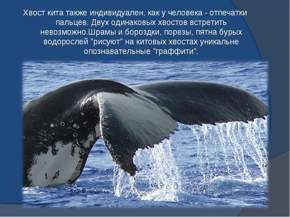Хвост кита также индивидуален, как у человека - отпечатки пальцев. Двух одина...