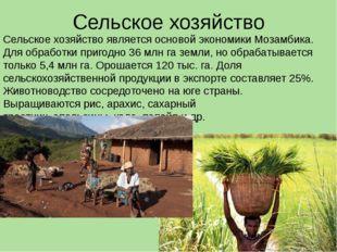 Сельское хозяйство Сельское хозяйство является основой экономики Мозамбика. Д
