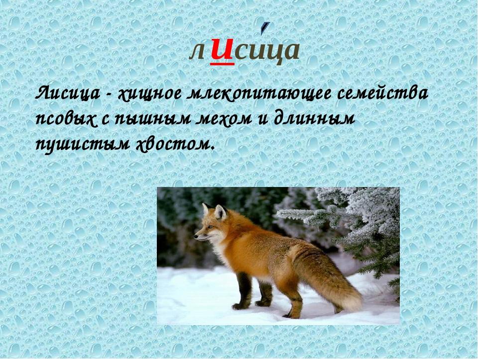 лисица Лисица - хищное млекопитающее семейства псовых с пышным мехом и длинны...