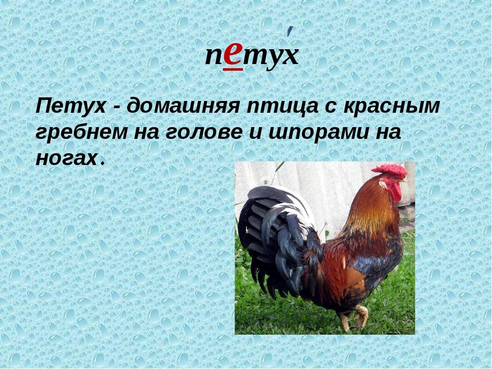 петух Петух - домашняя птица с красным гребнем на голове и шпорами на ногах.