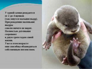 У одной самки рождается от 2 до 4 щенков (так зовутся малыши выдр). При рожде