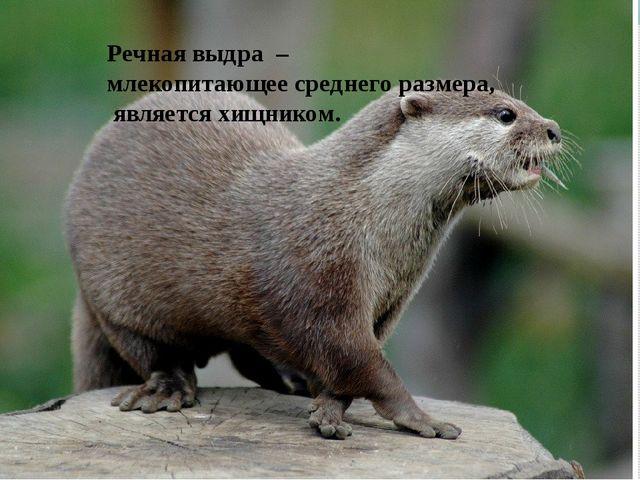 Речная выдра – млекопитающее среднего размера, является хищником.