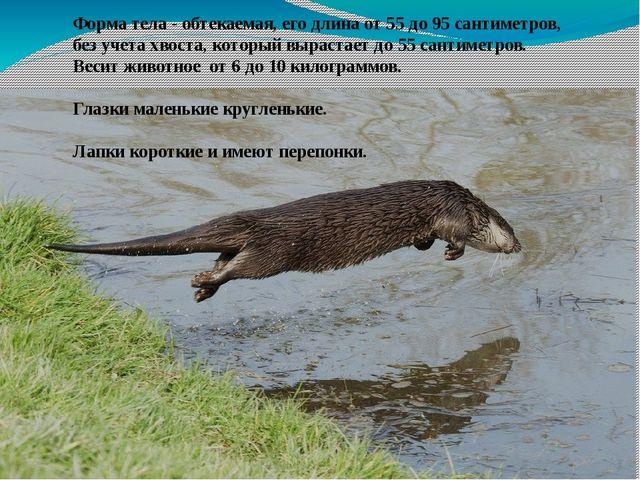 Форма тела - обтекаемая, его длина от 55 до 95 сантиметров, без учета хвоста,...