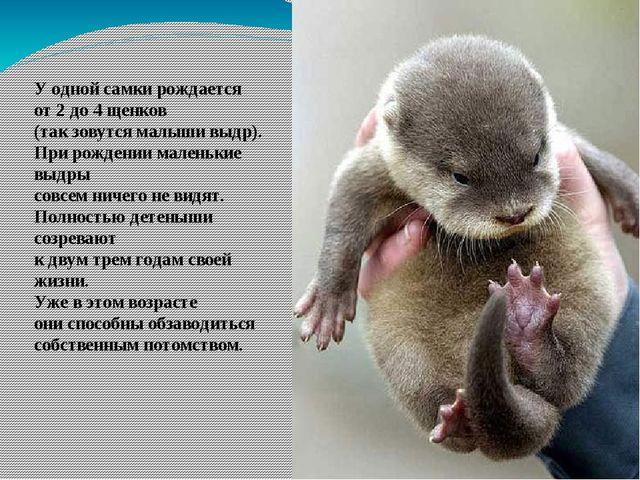 У одной самки рождается от 2 до 4 щенков (так зовутся малыши выдр). При рожде...