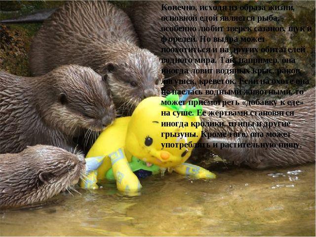 Конечно, исходя из образа жизни, основной едой является рыба, особенно любит...