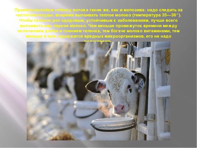 Правила выпойки теленку молока такие же, как и молозива: надо следить за чист...