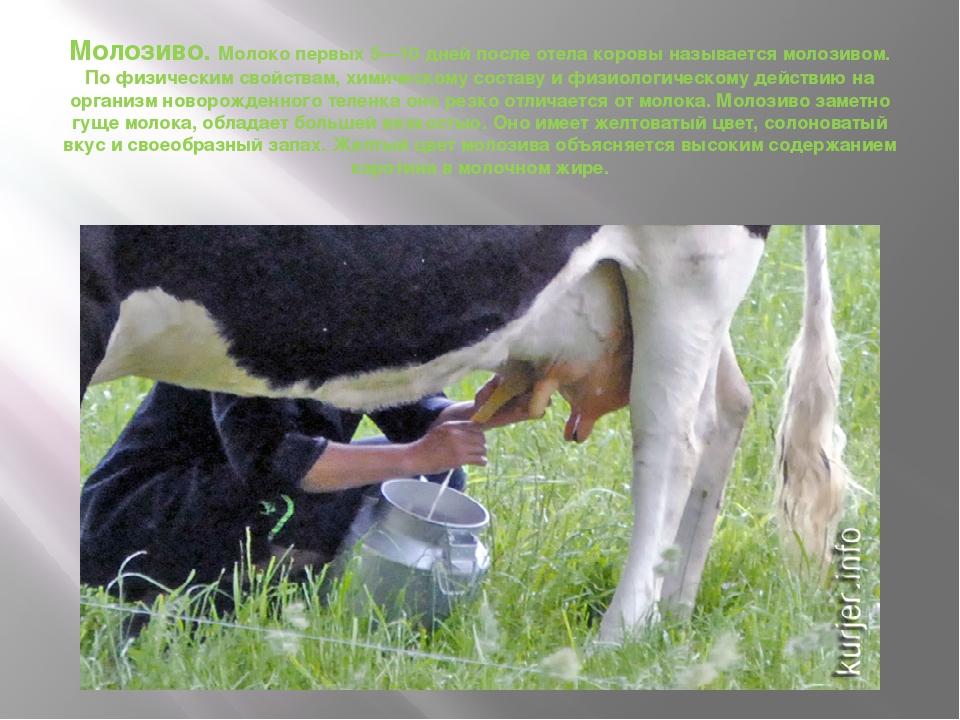 Молозиво. Молоко первых 5—10 дней после отела коровы называется молозивом. По...