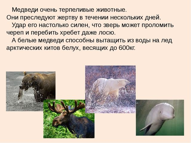 Медведи очень терпеливые животные. Они преследуют жертву в течении нескольки...