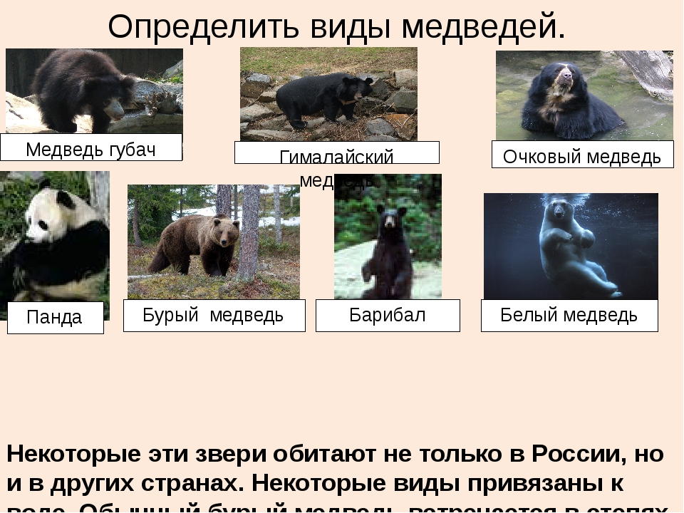 Определить виды медведей. Некоторые эти звери обитают не только в России, но...