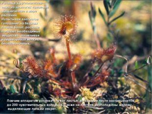 Росянка круглолистная– один из немногих примеров хищничества в мире растений