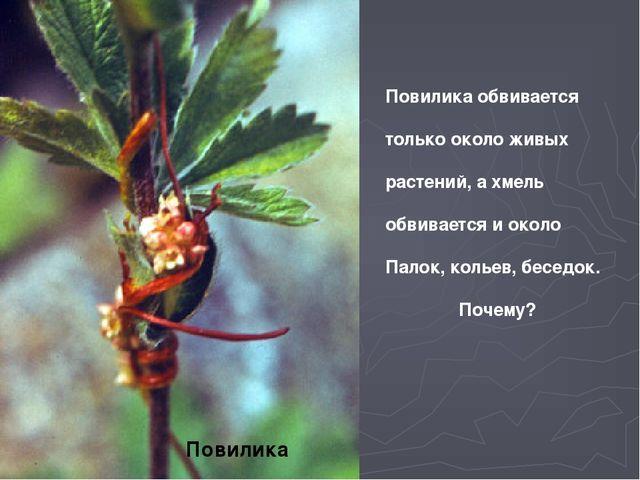 Повилика Повилика обвивается только около живых растений, а хмель обвивается...