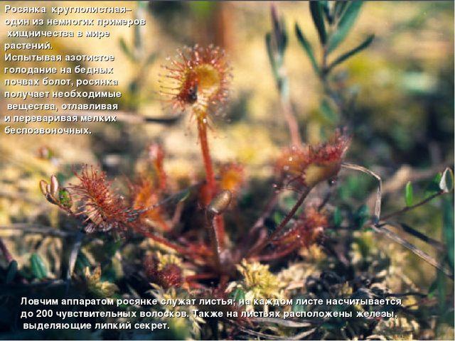 Росянка круглолистная– один из немногих примеров хищничества в мире растений...