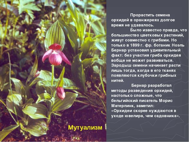 Мутуализм  Прорастить семена орхидей в оранжереях долгое время не удавалось...