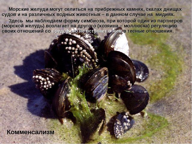 Морские желуди могут селиться на прибрежных камнях, скалах днищах судов и на...