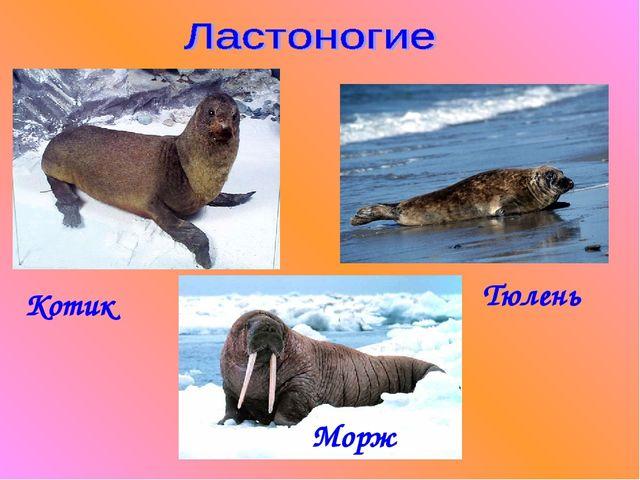 Котик Тюлень Морж
