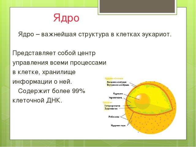 Ядро Ядро – важнейшая структура в клетках эукариот.  Представляет собой це...