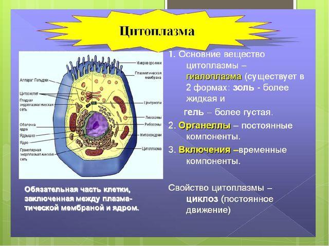 Цитоплазма Цитоплазма – вещество, заполняющее всю клетку и содержащее все кл...