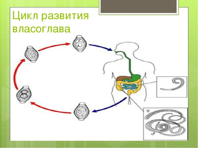 Цикл развития власоглава