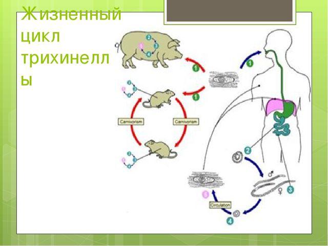 Жизненный цикл трихинеллы