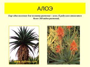 АЛОЭ Еще одно полезное для человека растение – алоэ. К роду алоэ относится бо