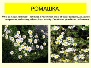 РОМАШКА. Одно из таких растений – ромашка. Существует около 50 видов ромашки.