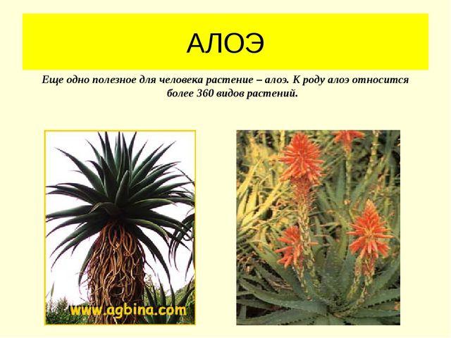 АЛОЭ Еще одно полезное для человека растение – алоэ. К роду алоэ относится бо...