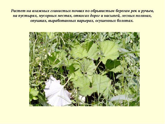 Растет на влажных глинистых почвах по обрывистым берегам рек и ручьев, на пус...